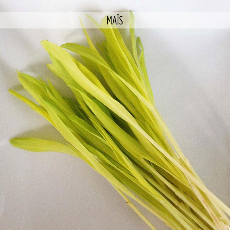 Micro-Pousses de Maïs Germinaisons | Micro Plants Robert
